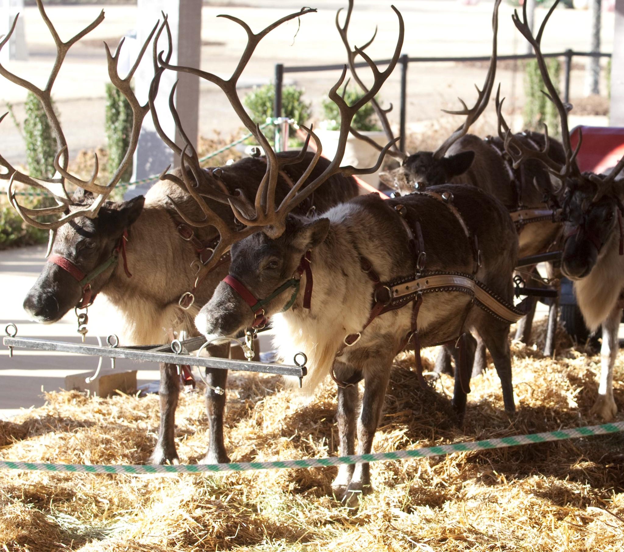 BarnsleyResort_Reindeer
